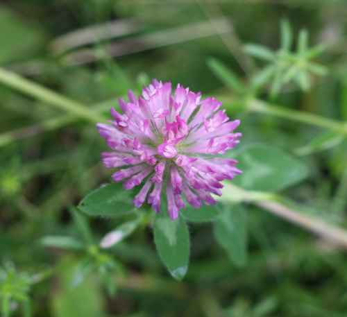 red clovers are a nutritious wild plant