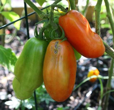sanmarzano tomato