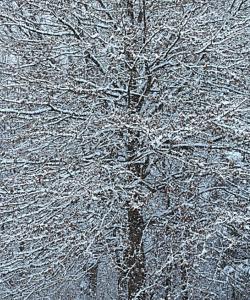 snowtree250