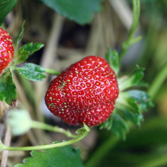 strawberryonvine