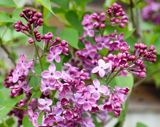 lilac image