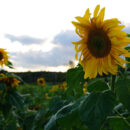 sunflowers 5