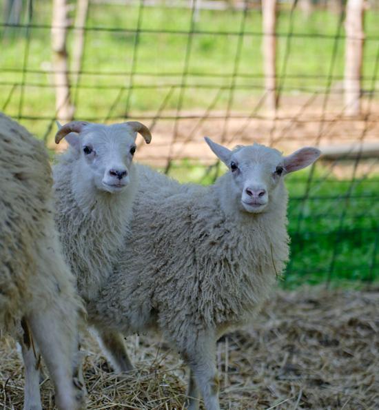 Sheep from www.healthygreenkitchen.com