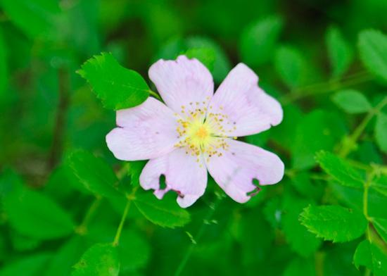 wild rose from www.healthygreenkitchen.com