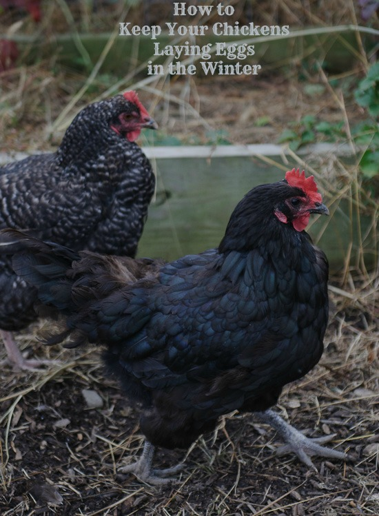 How to Keep Your Chickens Laying Eggs in the Winter   Healthy Green Kitchen