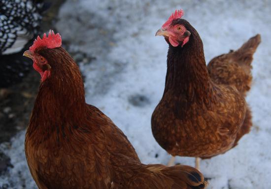 chickens | healthy green kitchen