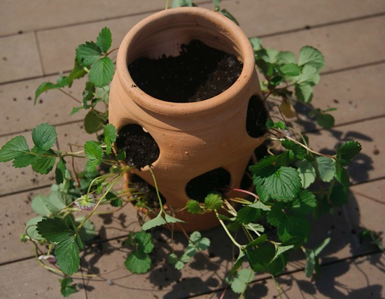 plant strawberries in a container