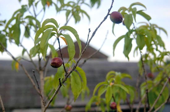plums_